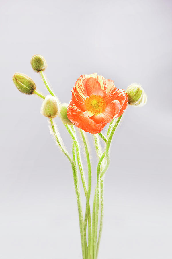 Still Life Of Orange Poppy Photograph by Tooga
