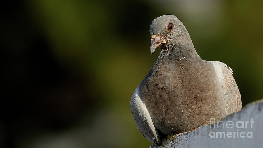 Stock Dove Columba oenas Head Shot by Pablo Avanzini