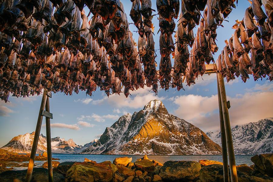 Stockfish In Lofoten Photograph by Adrian Popan