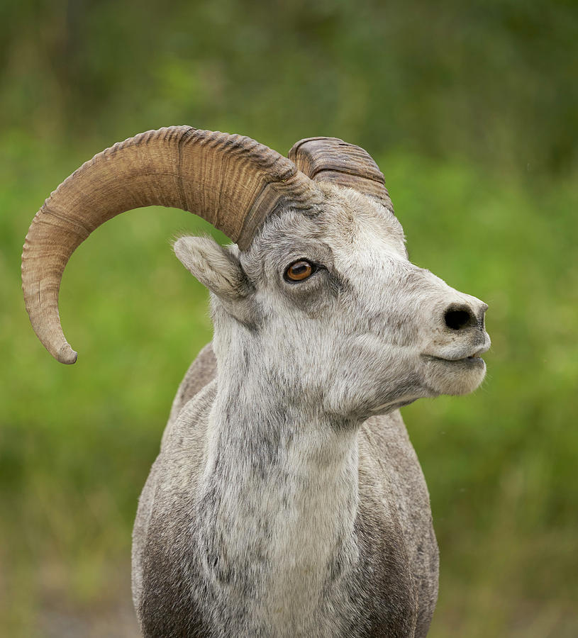 Mammals Photograph - Stones Sheep by Doug Herr