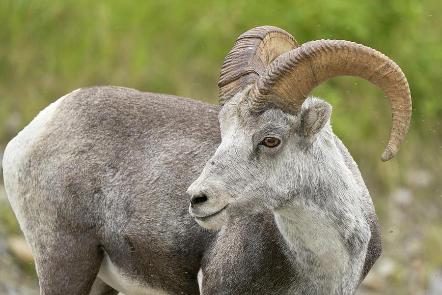 Mammals Photograph - Stones Sheep Ram by Doug Herr