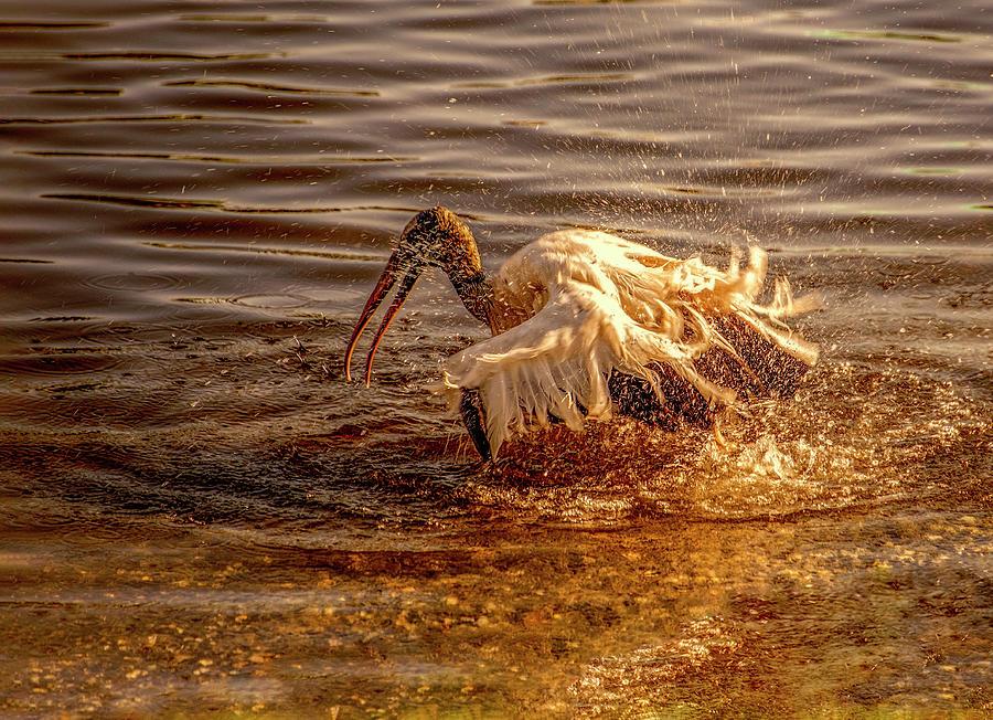 Stork Taking a Batch by Gordon Ripley