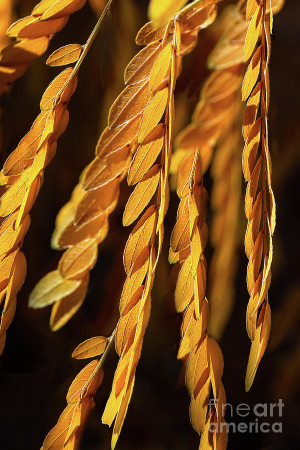 Strands of Gold by Susan Warren