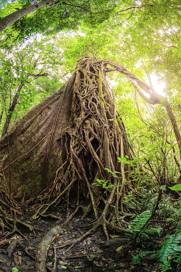 Strangler Fig Tree In Tropical Forest Photograph