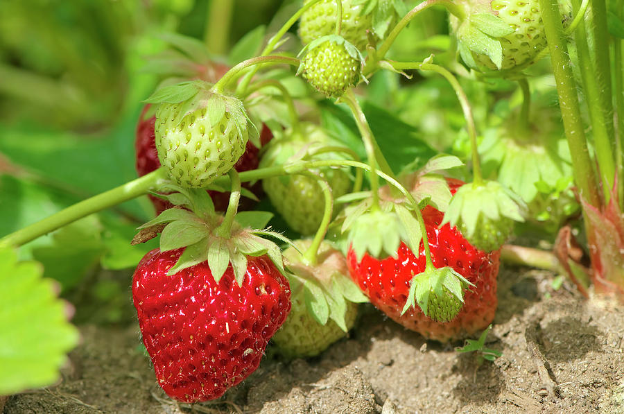 Strawberries in the Garden by Sharon Talson