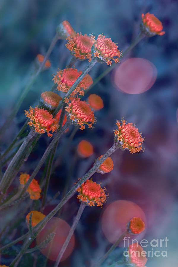 Strawflowers by Susan Warren