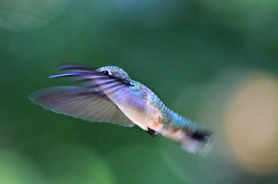 Hummingbird Photograph - Stretch by Candice Trimble