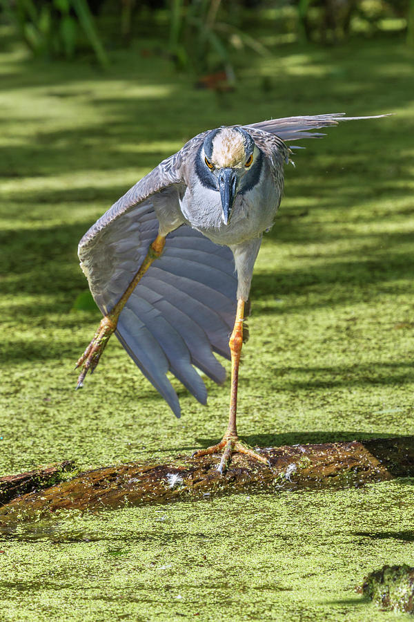 Stretching Heron by Ivan Kuzmin