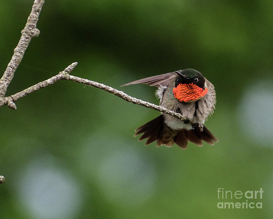 Stretching Male Ruby-throataed Hummingbird by Cindy Treger