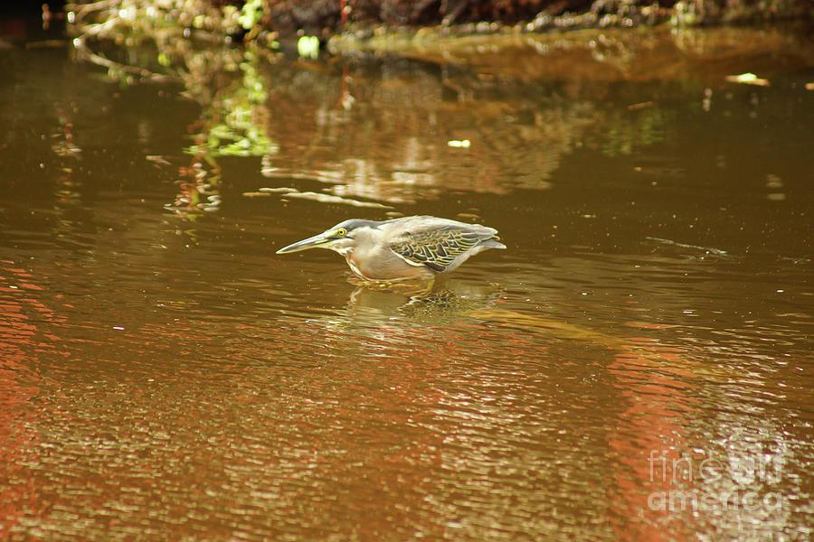 Striated Heron I Photograph