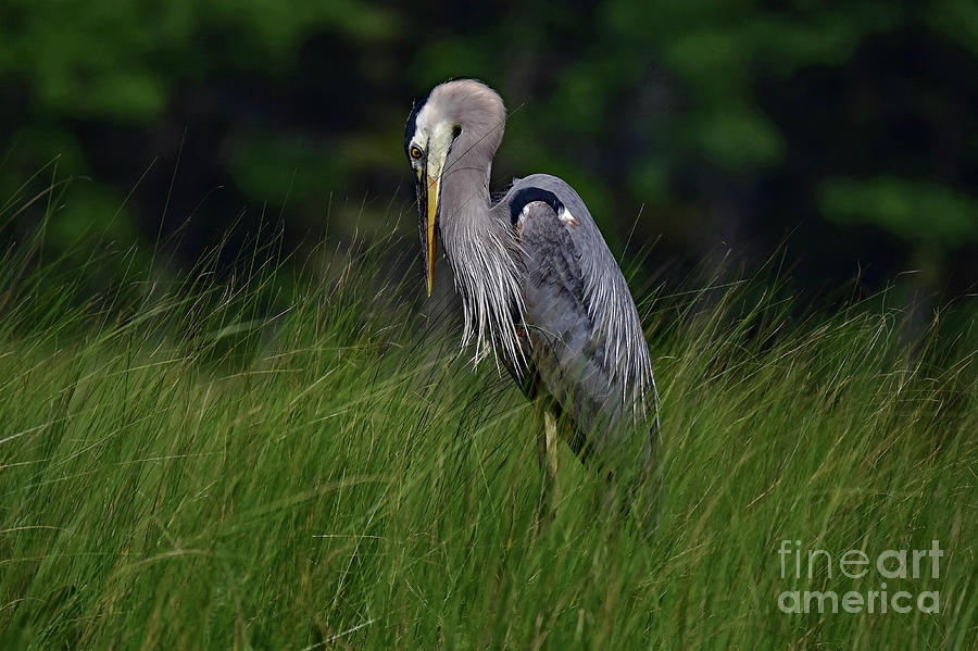 Strike a Pose Great Blue Heron by Theresa Kocka
