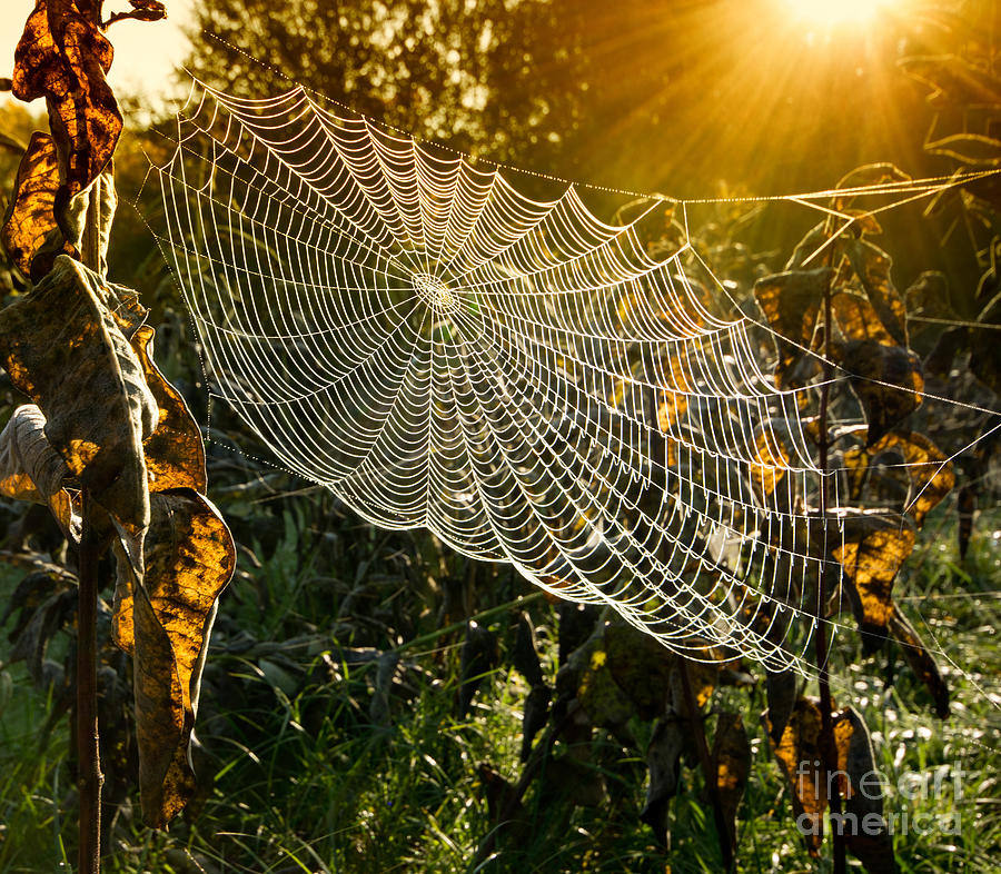 Forest Photograph - Strings Of A Spiders Web In Back Light by Budimir Jevtic