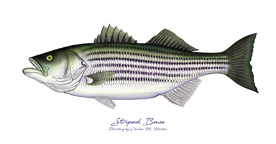 Striped Bass Painting - Striped Bass by Charles Harden