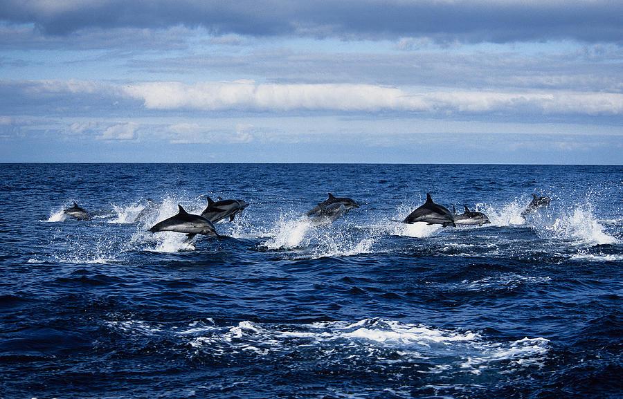 Striped Dolphin,stenella Coeruleoalba Photograph by Gerard Soury