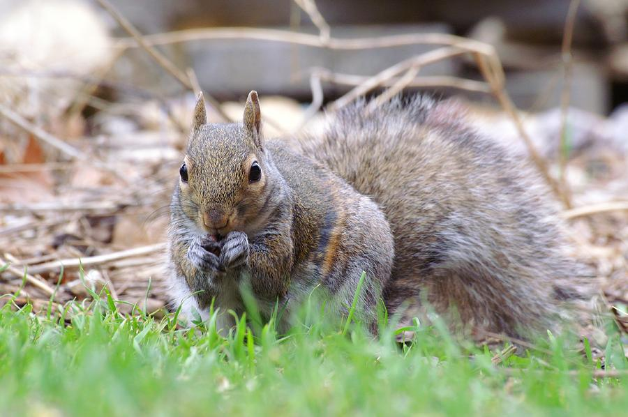 Striped Squirrel Eating by Don Northup