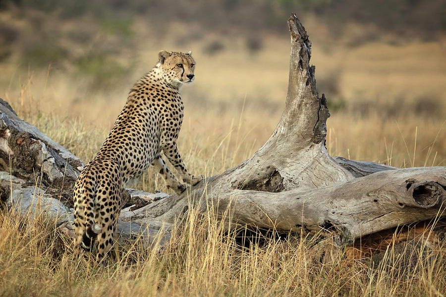 Cheetah Photograph - Strong by Renee Doyle