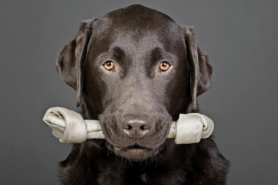 Studio Portrait Of Chocolate Labrador Photograph by Justin Paget
