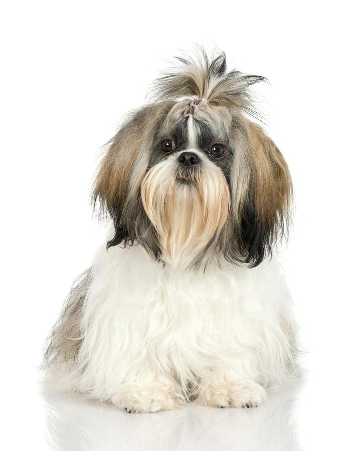 Studio Portrait Of Shih Tzu Dog Photograph by Jupiterimages