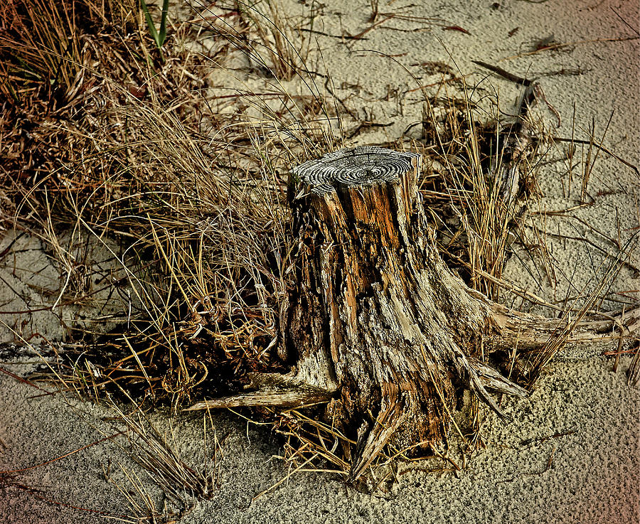 Stump at the Beach by Maggy Marsh