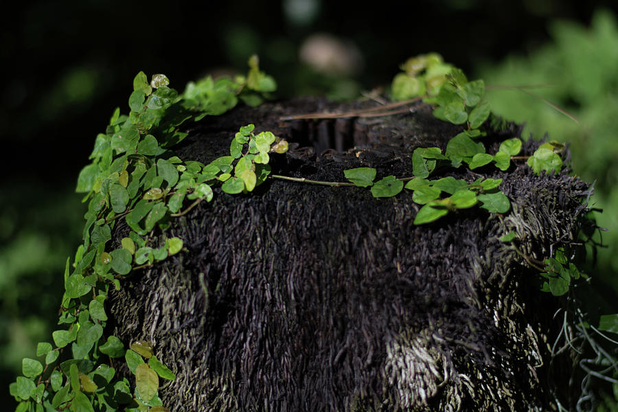 Stump Photograph - Stump With Green Vine by John Rowley