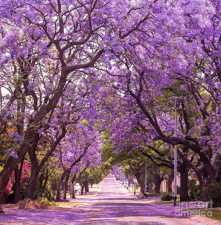 Romance Photograph - Stunning Alley With Wonderful Violet by Dendenal