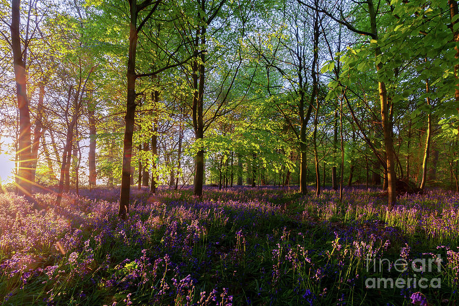 Stunning bluebells woodland at sunrise by Simon Bratt Photography LRPS