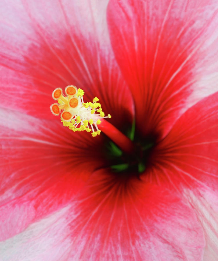 Stunning Close-up Of Centre Of Red Photograph by Rosemary Calvert