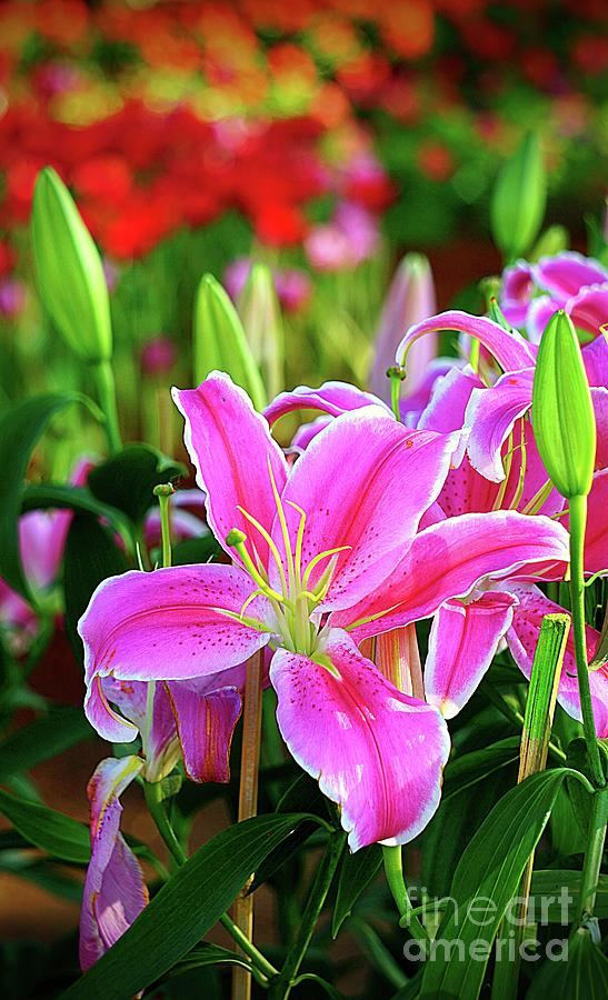 Stunning Pink Lily by Ian Gledhill