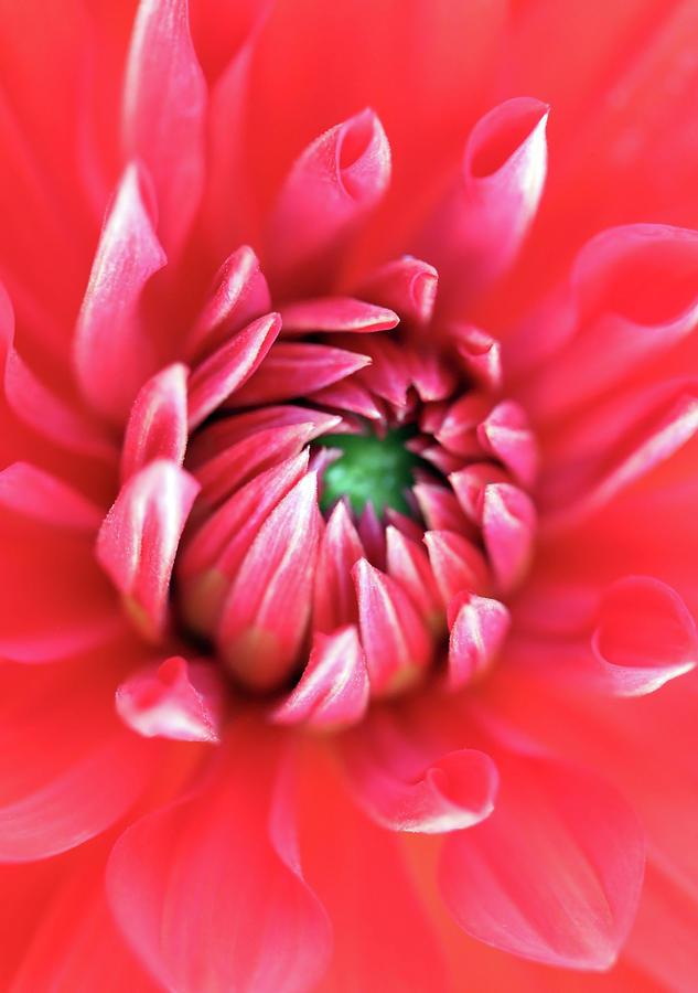 Stunning Red Dahlia Opening Up by Johanna Hurmerinta