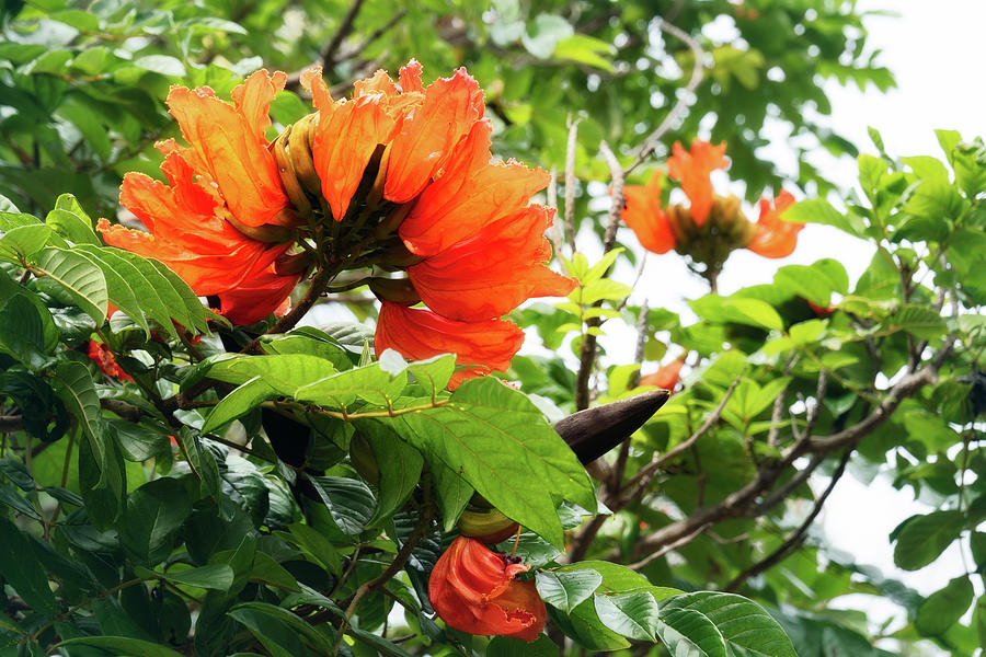 Stunning red flowers of the African Tulip Tree at a beach in New Caledonia by Daniela Constantinescu