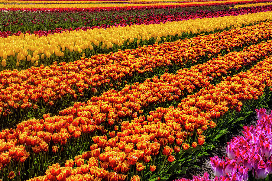 Tulip Photograph - Stunning Rows Of Colorful Tulips by Garry Gay