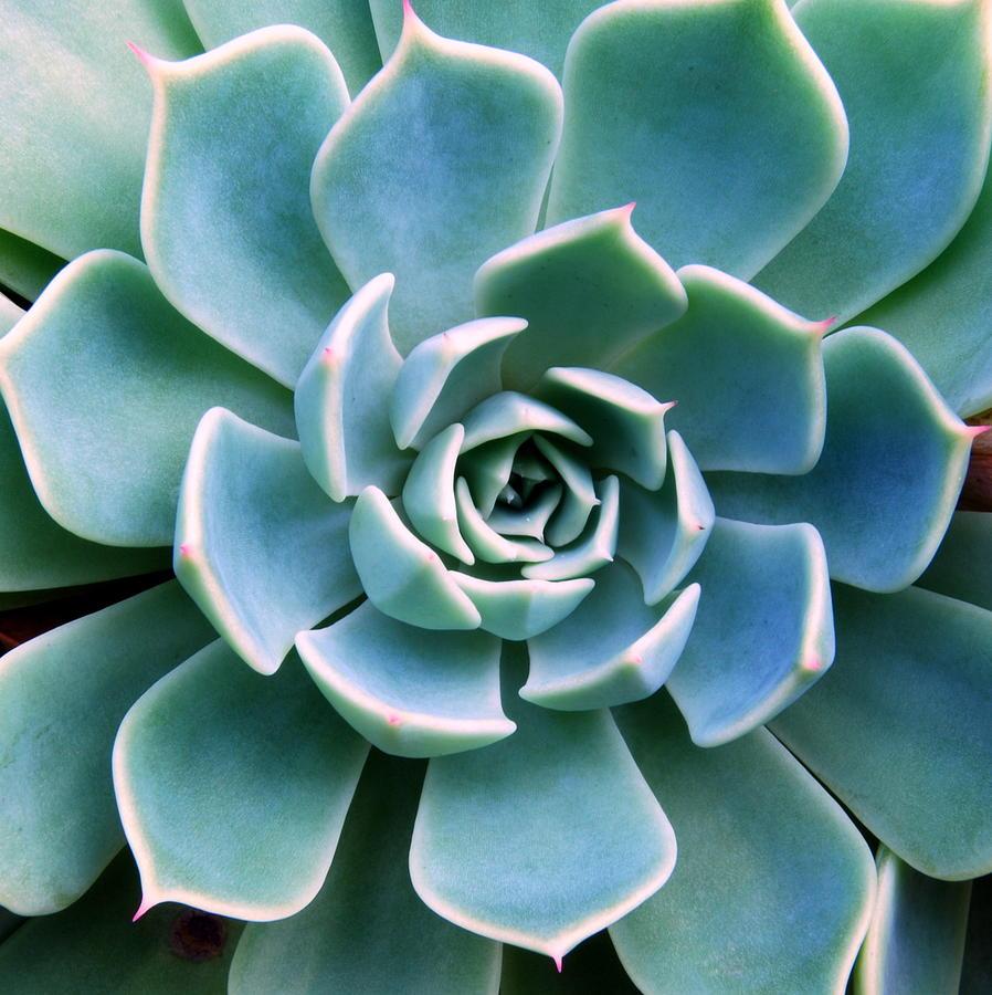 Succulent Echeveria Photograph by Linde1