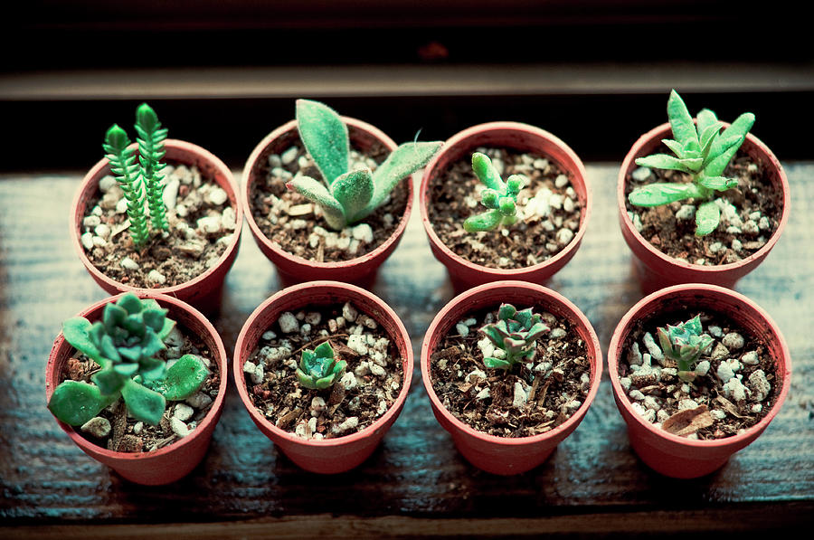 Succulent Plants Photograph by Tokoro