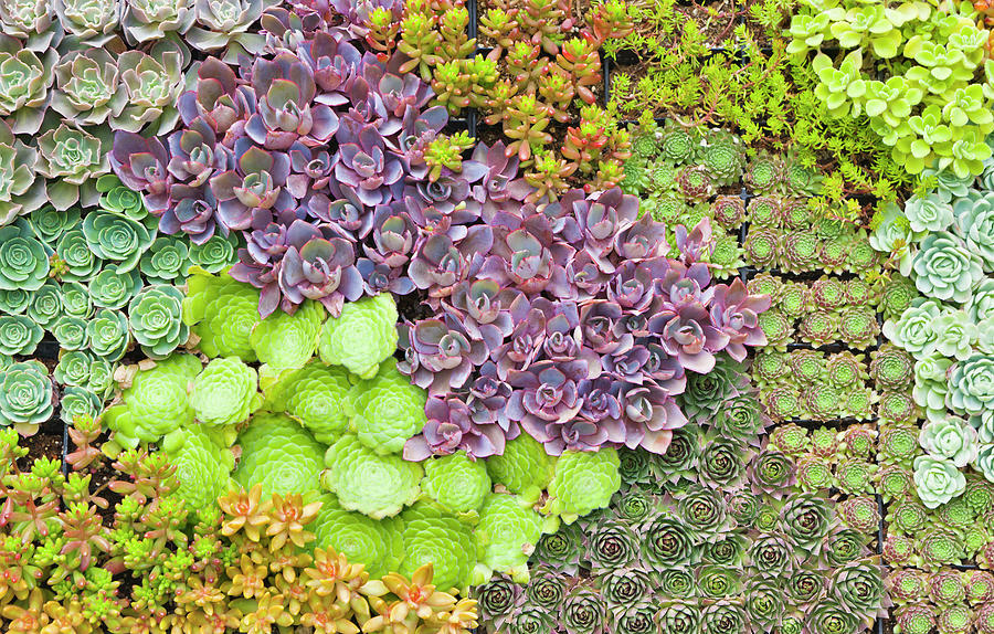 Succulents Growing Vertically On Wall Photograph by David Madison