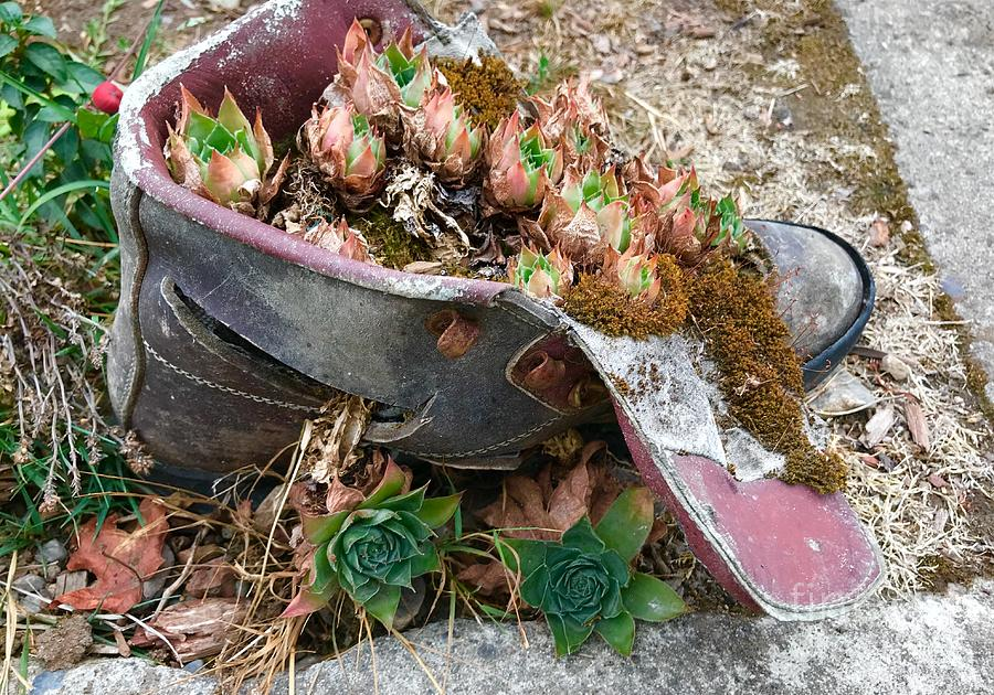 Succulents in a Boot by Suzanne Lorenz