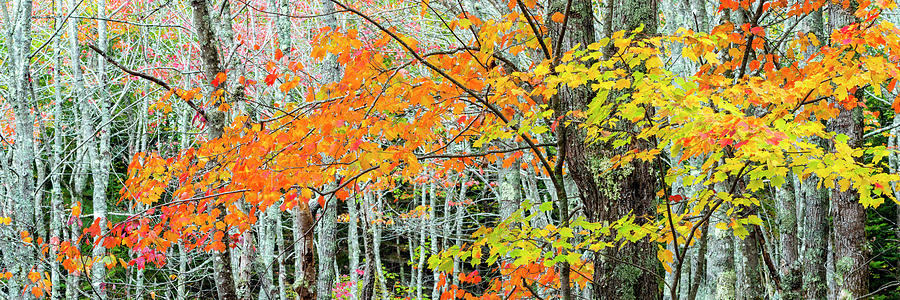 Horizontal Photograph - Sugar Maple Acer Saccharum In Autumn by Panoramic Images
