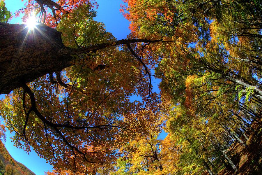 Sugar Maple Looking Up Into Sun Star Photograph by Darrell Gulin