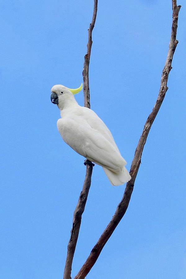 Sulfur Crested Cockatoo  by Sarah Lilja