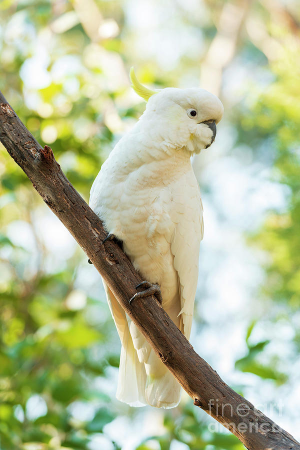 Sulphur-Crested Cockatoo Bird by Tim Hester