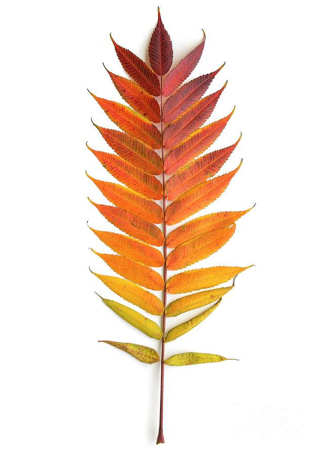 Sumac Leaf  by Diane Diederich