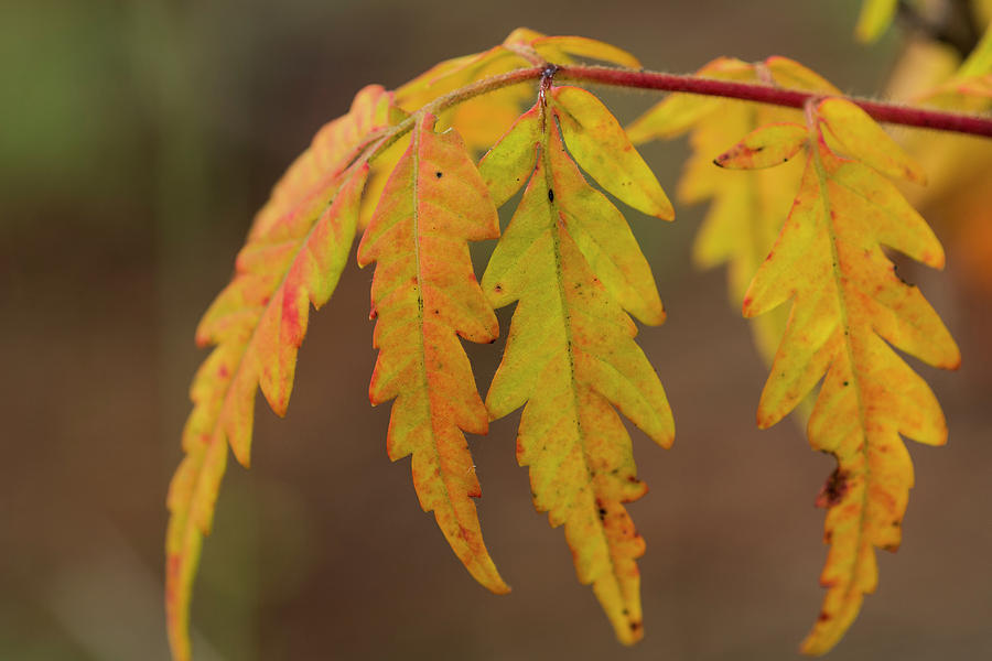 Sumac Leaves by Robert Potts