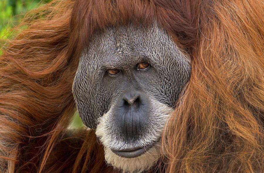 Mp Photograph - Sumatran Orangutan Male by Tim Fitzharris