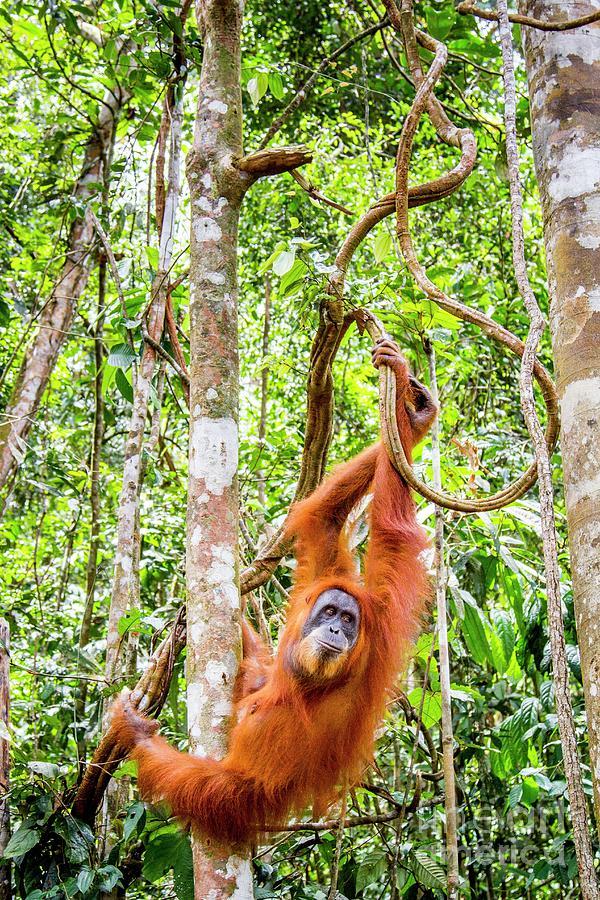Nobody Photograph - Sumatran Orangutan by Paul Williams/science Photo Library