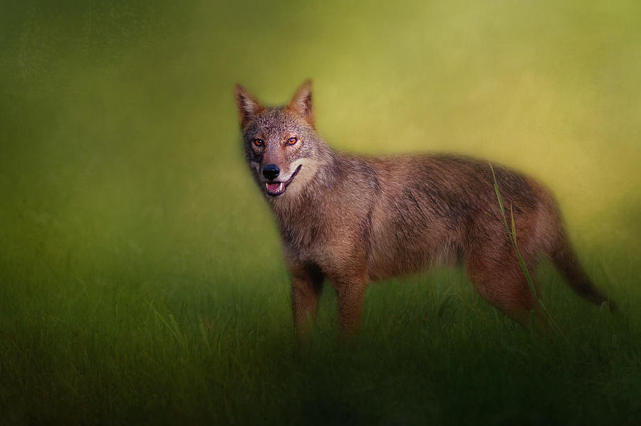 Summer Coyote by Bill Wakeley