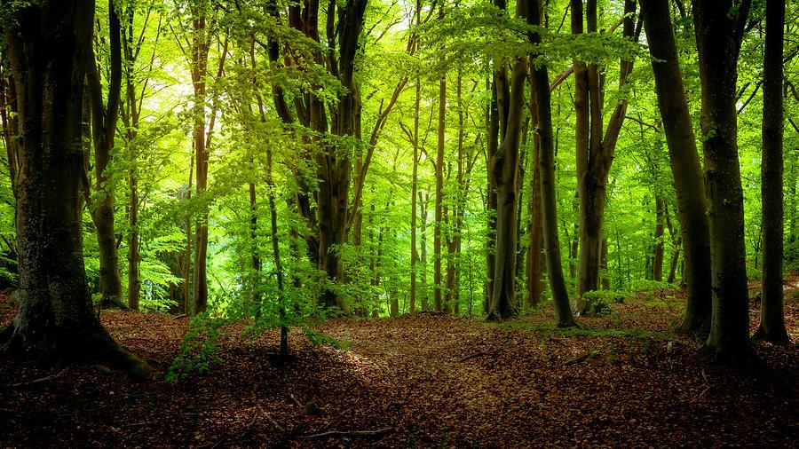 Beech Photograph - Summer Forest by Nicklas Gustafsson