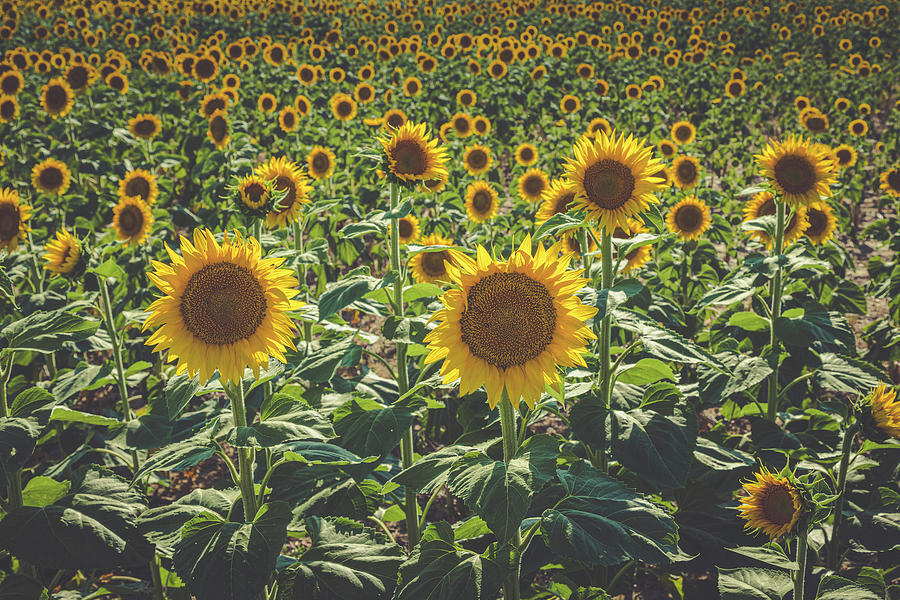 Summer in the Sunflower Fields by Teri Virbickis