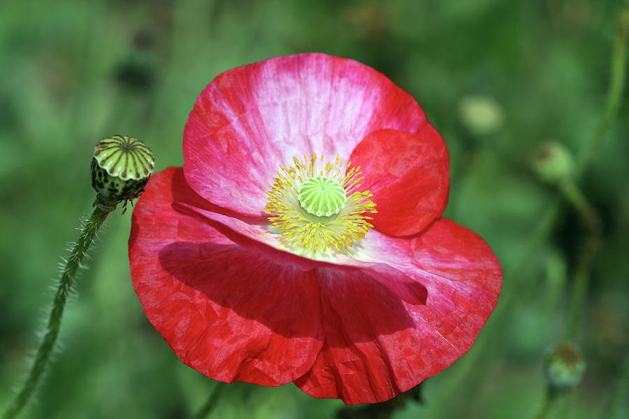 Summer Poppy by Peg Toliver