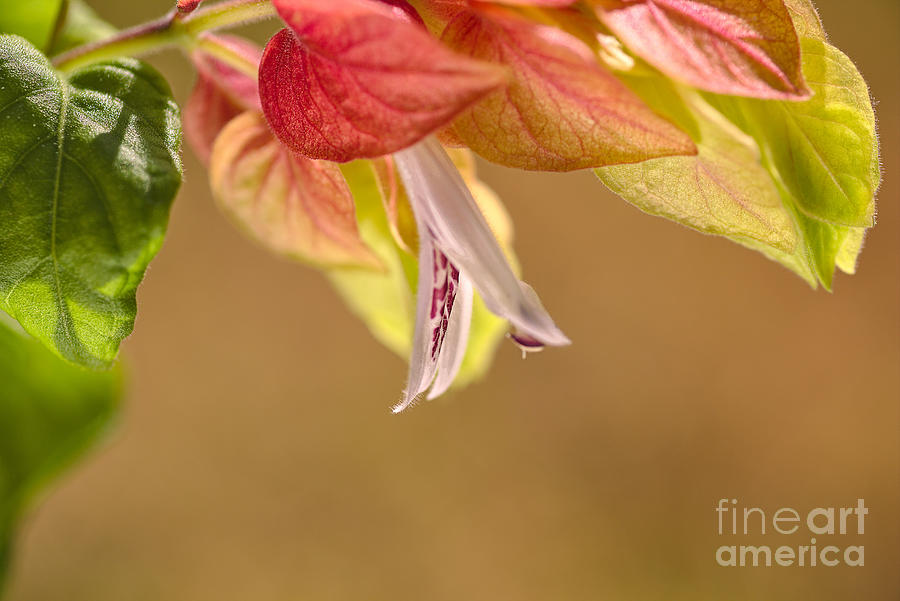 Summer Shrimp Plant Flowering by Joy Watson