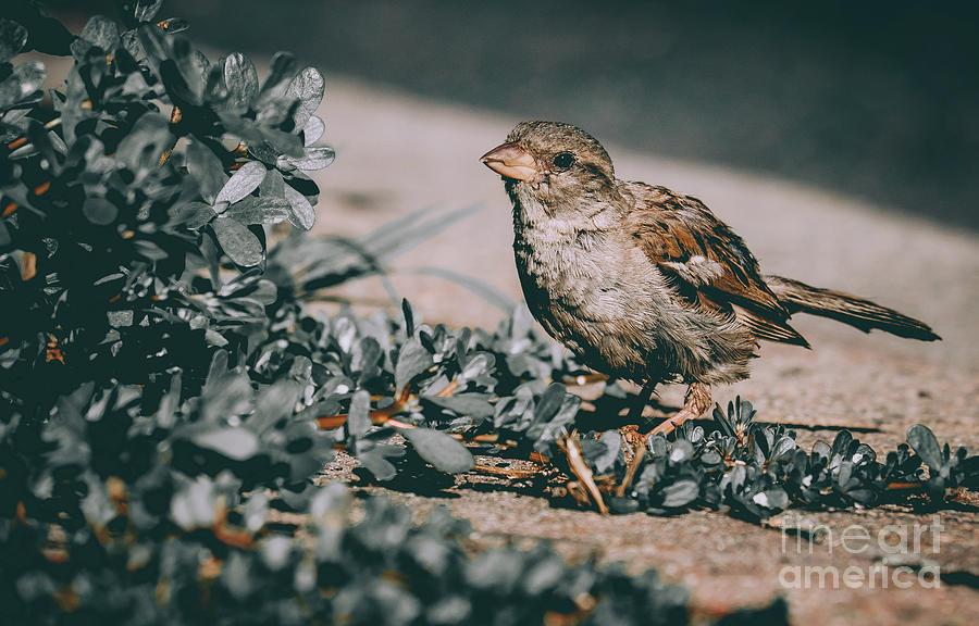 Summer Sparrow. Bird Photograph by Stephen Geisel