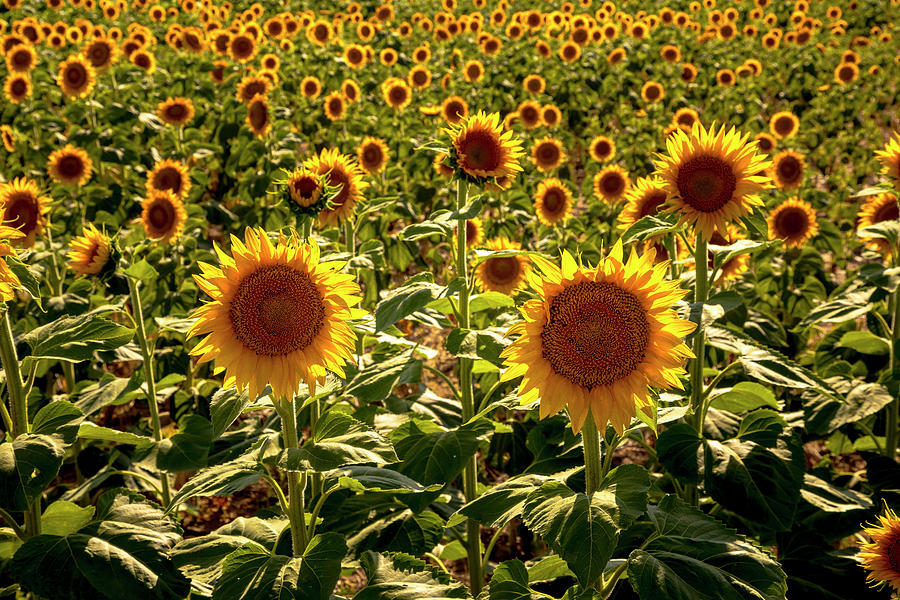 Summer Sunny Sunflower Field in Colorado by Teri Virbickis